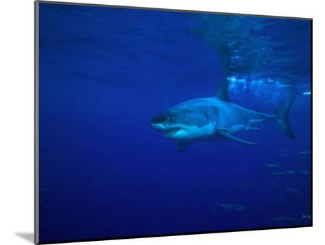 Great White Shark Swims in Clear Water Off Guadalupe Island-Mauricio Handler-Mounted Photographic Print