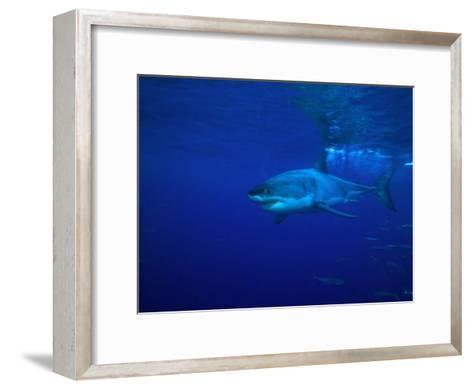 Great White Shark Swims in Clear Water Off Guadalupe Island-Mauricio Handler-Framed Art Print