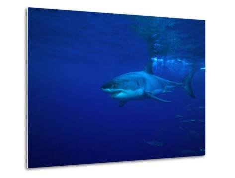 Great White Shark Swims in Clear Water Off Guadalupe Island-Mauricio Handler-Metal Print