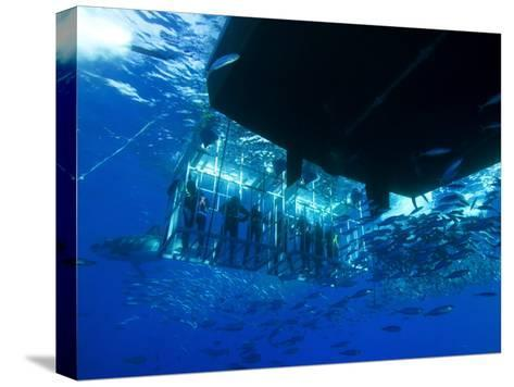 Great White Shark Swims Near Underwater Photographers in a Cage-Mauricio Handler-Stretched Canvas Print