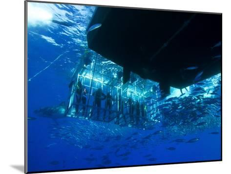 Great White Shark Swims Near Underwater Photographers in a Cage-Mauricio Handler-Mounted Photographic Print