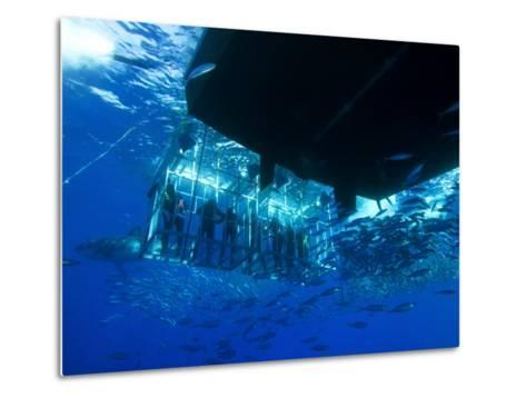 Great White Shark Swims Near Underwater Photographers in a Cage-Mauricio Handler-Metal Print