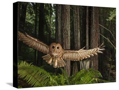 Tagged Northern Spotted Owl in a Redwood Forest-Michael Nichols-Stretched Canvas Print