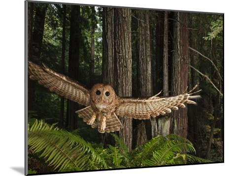 Tagged Northern Spotted Owl in a Redwood Forest-Michael Nichols-Mounted Photographic Print