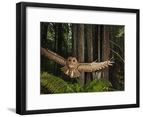 Tagged Northern Spotted Owl in a Redwood Forest-Michael Nichols-Framed Art Print