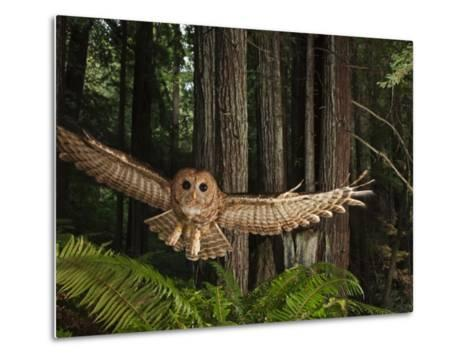 Tagged Northern Spotted Owl in a Redwood Forest-Michael Nichols-Metal Print
