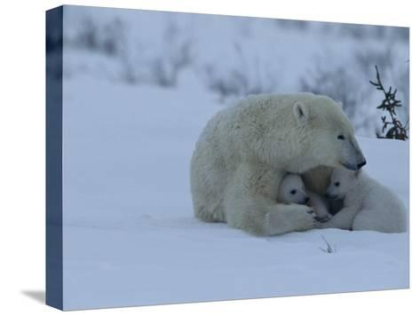 Polar Bear Sheltering Her 3-Month-Old Cubs in the Snow-Norbert Rosing-Stretched Canvas Print