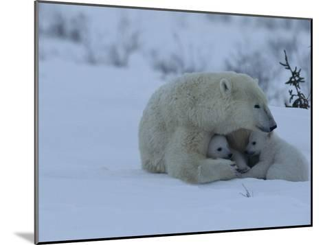 Polar Bear Sheltering Her 3-Month-Old Cubs in the Snow-Norbert Rosing-Mounted Photographic Print