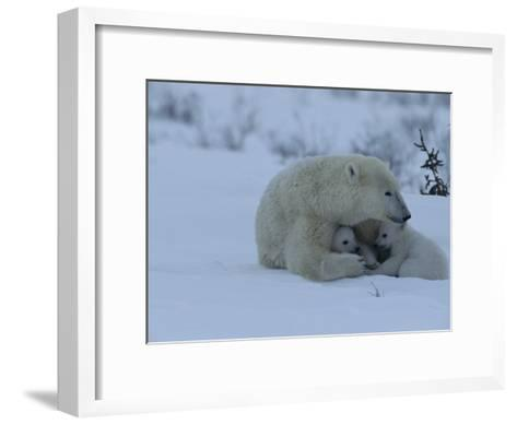 Polar Bear Sheltering Her 3-Month-Old Cubs in the Snow-Norbert Rosing-Framed Art Print