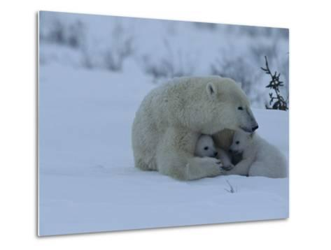 Polar Bear Sheltering Her 3-Month-Old Cubs in the Snow-Norbert Rosing-Metal Print