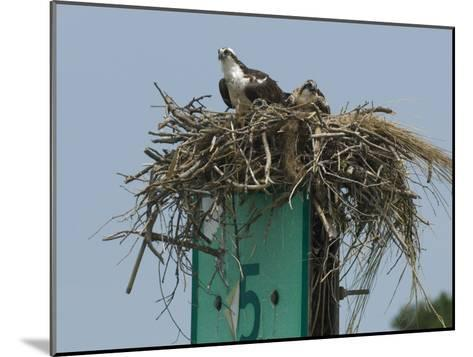 Osprey and Chick in Nest Atop a Boating Channel Marker-Paul Sutherland-Mounted Photographic Print