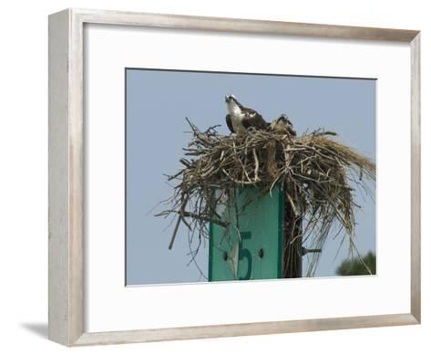 Osprey and Chick in Nest Atop a Boating Channel Marker-Paul Sutherland-Framed Art Print