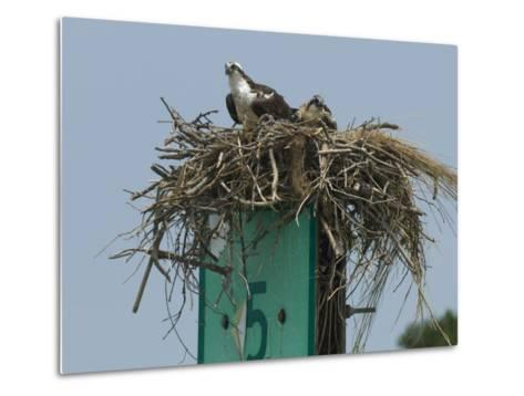 Osprey and Chick in Nest Atop a Boating Channel Marker-Paul Sutherland-Metal Print