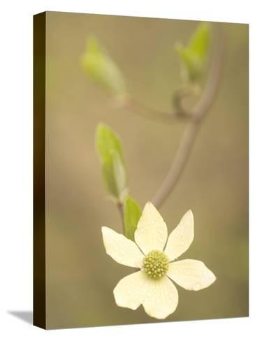 Water Drops Cling to Flowers of the Pacific Dogwood Tree in Spring-Phil Schermeister-Stretched Canvas Print