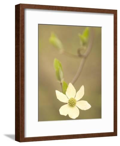 Water Drops Cling to Flowers of the Pacific Dogwood Tree in Spring-Phil Schermeister-Framed Art Print