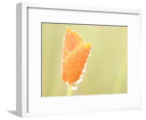 Water Drops Cling to the Petals of a California Poppy-Phil Schermeister-Framed Art Print