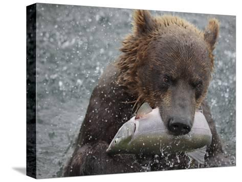 Brown Bear Catches a Pink Salmon Fish in Kuril Lake-Randy Olson-Stretched Canvas Print