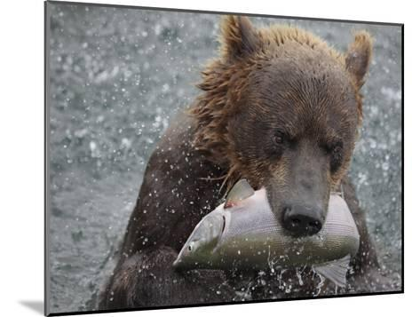 Brown Bear Catches a Pink Salmon Fish in Kuril Lake-Randy Olson-Mounted Photographic Print