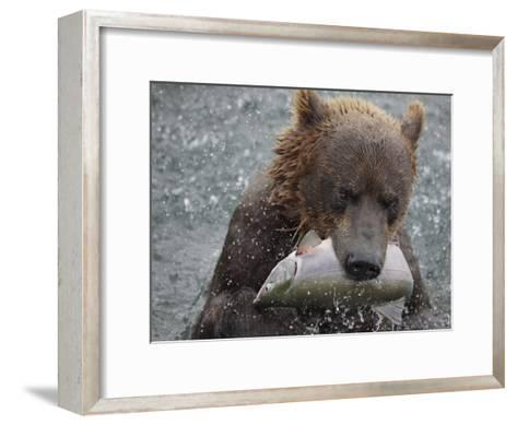 Brown Bear Catches a Pink Salmon Fish in Kuril Lake-Randy Olson-Framed Art Print