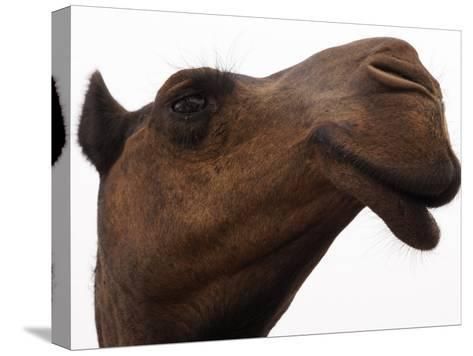 Camel with Oblong Nostrils and Drooping Lips-Randy Olson-Stretched Canvas Print