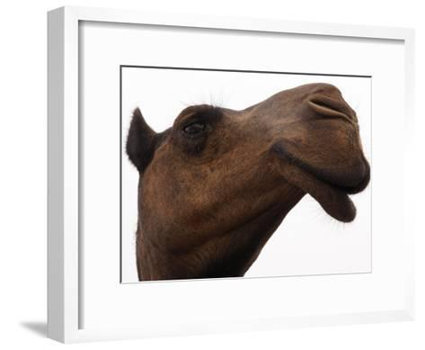 Camel with Oblong Nostrils and Drooping Lips-Randy Olson-Framed Art Print