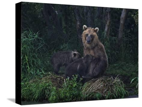 Brown Bear Breast-Feeding Her Cubs at Kurilskoye Lake Preserve-Randy Olson-Stretched Canvas Print