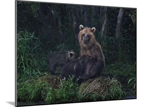 Brown Bear Breast-Feeding Her Cubs at Kurilskoye Lake Preserve-Randy Olson-Mounted Photographic Print
