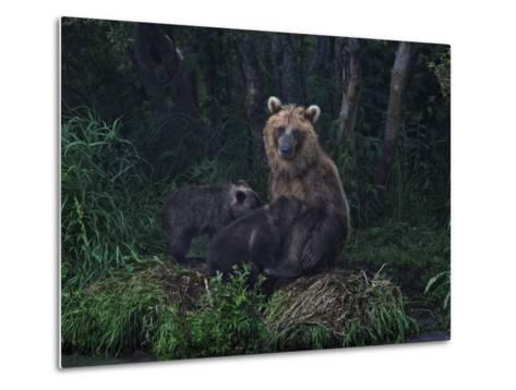 Brown Bear Breast-Feeding Her Cubs at Kurilskoye Lake Preserve-Randy Olson-Metal Print