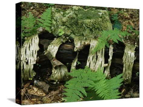 Moss-Covered Birch Log and Ferns at the Thuya Garden-Raymond Gehman-Stretched Canvas Print