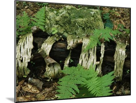 Moss-Covered Birch Log and Ferns at the Thuya Garden-Raymond Gehman-Mounted Photographic Print