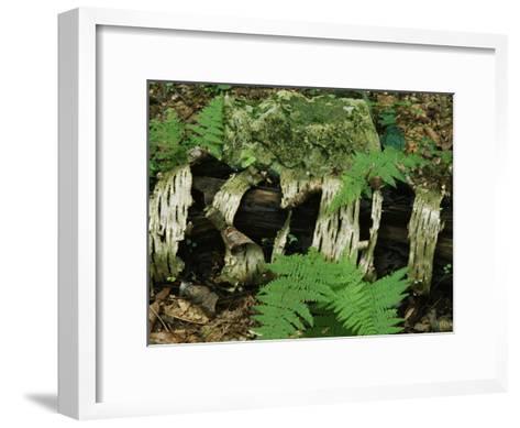 Moss-Covered Birch Log and Ferns at the Thuya Garden-Raymond Gehman-Framed Art Print