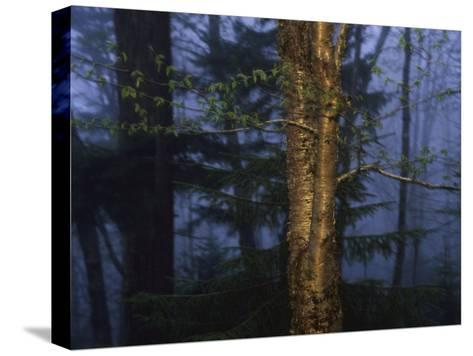Birch Tree in a Foggy Forest at Twilight-Raymond Gehman-Stretched Canvas Print