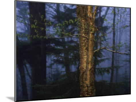 Birch Tree in a Foggy Forest at Twilight-Raymond Gehman-Mounted Photographic Print