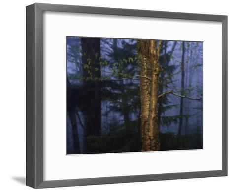 Birch Tree in a Foggy Forest at Twilight-Raymond Gehman-Framed Art Print