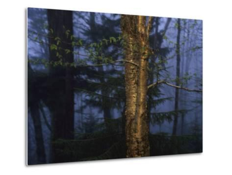 Birch Tree in a Foggy Forest at Twilight-Raymond Gehman-Metal Print