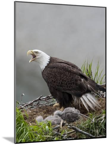 American Bald Eagle Vocalizing and Protecting it's Nest and Chicks-Roy Toft-Mounted Photographic Print