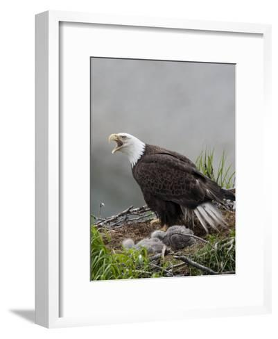 American Bald Eagle Vocalizing and Protecting it's Nest and Chicks-Roy Toft-Framed Art Print