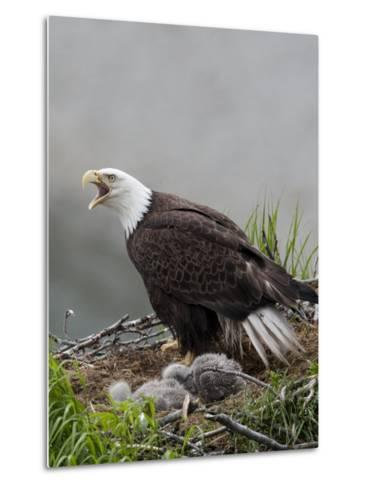 American Bald Eagle Vocalizing and Protecting it's Nest and Chicks-Roy Toft-Metal Print
