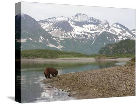 Alaskan Brown Bear Foraging by the Water in a Snowy Mountain Landscape-Roy Toft-Stretched Canvas Print