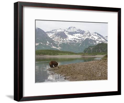 Alaskan Brown Bear Foraging by the Water in a Snowy Mountain Landscape-Roy Toft-Framed Art Print