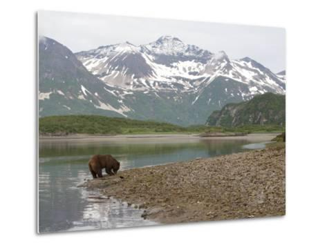 Alaskan Brown Bear Foraging by the Water in a Snowy Mountain Landscape-Roy Toft-Metal Print