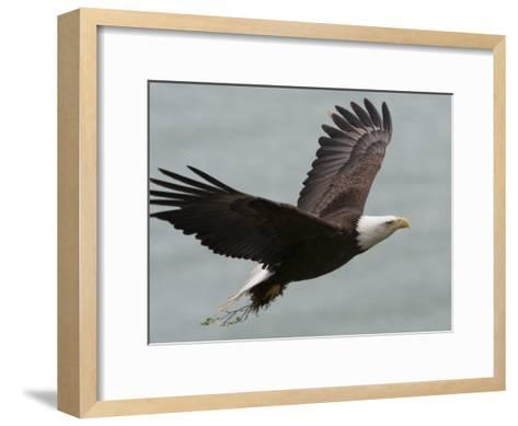American Bald Eagle Soaring-Roy Toft-Framed Art Print