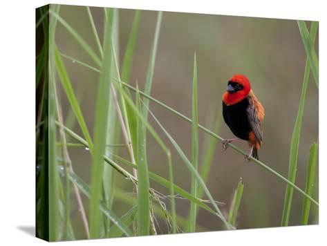 Southern Red Bishop Bird, Euplectes Orix, in Bright Breeding Plumage-Roy Toft-Stretched Canvas Print