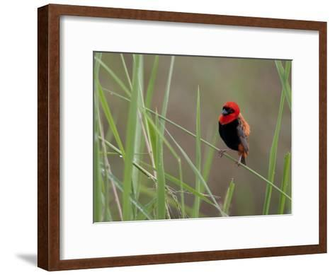 Southern Red Bishop Bird, Euplectes Orix, in Bright Breeding Plumage-Roy Toft-Framed Art Print