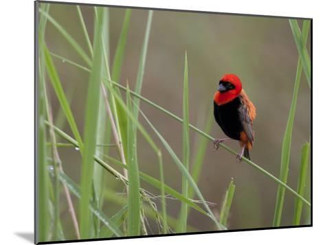 Southern Red Bishop Bird, Euplectes Orix, in Bright Breeding Plumage-Roy Toft-Mounted Photographic Print