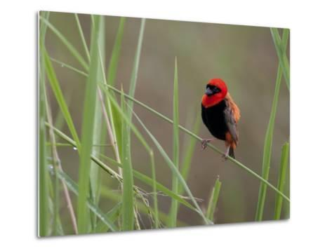 Southern Red Bishop Bird, Euplectes Orix, in Bright Breeding Plumage-Roy Toft-Metal Print