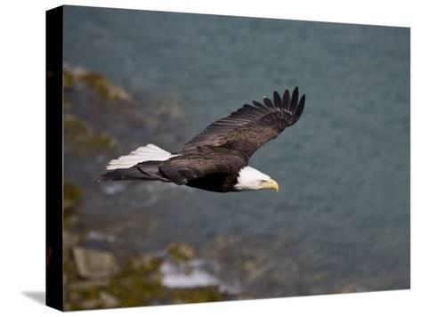 American Bald Eagle, Haliaeetus Leucocephalus, Soaring-Roy Toft-Stretched Canvas Print