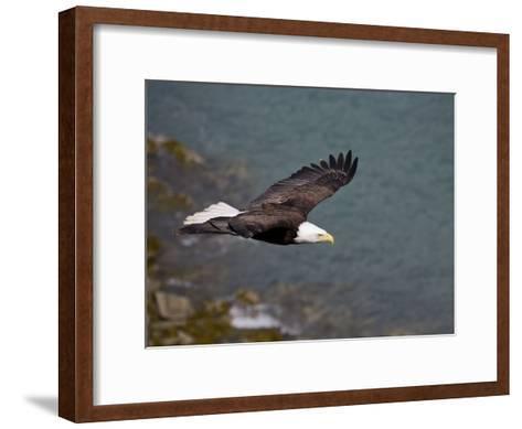 American Bald Eagle, Haliaeetus Leucocephalus, Soaring-Roy Toft-Framed Art Print