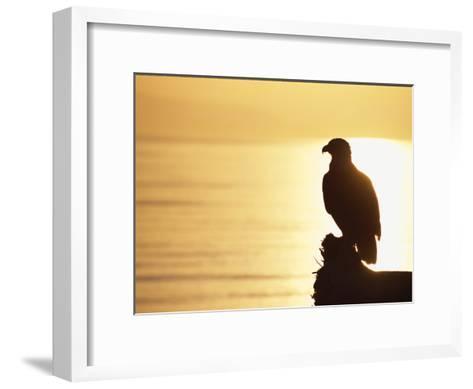 American Bald Eagle, Haliaeetus Leucocephalus, Silhouette at Sunset-Roy Toft-Framed Art Print