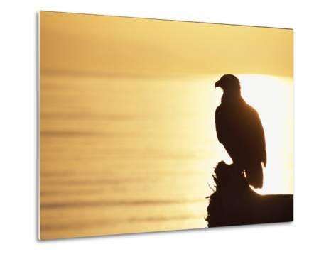 American Bald Eagle, Haliaeetus Leucocephalus, Silhouette at Sunset-Roy Toft-Metal Print
